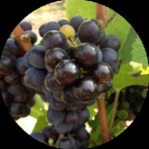 Vigne raisin Michel Guignier Les Amethystes
